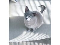 BLUE Tokinese cat needs temporary home.