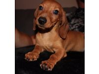 BEAUTIFUL RED MINIATURE DACHSHUND MALE PUPPY! 4 MOTNH OLD