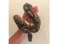 Royal Ball Python, 5 years old, Viv and all accessories included