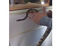 Healthy Female Royal Python Snake 2 1/2 years old with Viv