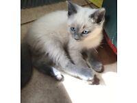 Beautiful rag doll X kittens