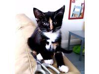 Cute Kitten For Sale Adoption Unique Black White Ginger Female Cat Derby City Centre