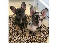 French bulldog puppies ready to leave
