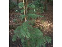 LAWSON CYPRESS EVERGREEN HEDGING CONIFER POTTED GARDEN TREE/PLANT