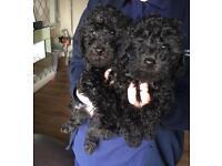 *Beddypoo* Bedlington terrier x Toy poodle
