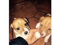 Jack Russell girl puppy's for sale