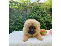 Red CHOW CHOW puppies