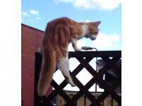 Missing ginger/ white cat Uphall