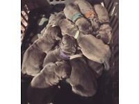 Big Blue Cane Corso puppies for sale. 3 females left, secure now!