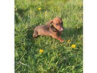 MiniatureBoy dachshund