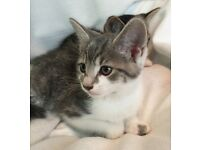 Stunning Russian Cross grey tabbies 8 weeks kittens