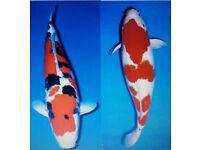 Koi - Sanke (black red and white) and Kohaku (white and red).