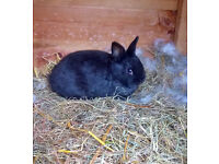 3 Cute Netherland Dwarf Kits For Sale