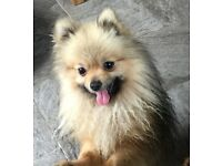Pomeranian Boy 18months old