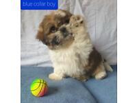 Full pedigree Shih Tzu puppies for sale