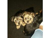Female shorkie puppies