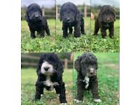4 reserved!! 2 available Stunning f1 cockapoo puppies