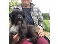 SOLD Jack Russel x miniature Schnauzer dog