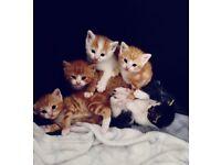 Half breed persian chinchilla kittens for sale