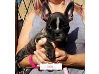 KC REG FRENCH BULLDOG PUPPIES FOR SALE
