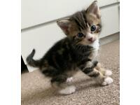 4 Absolutely Beautiful Bengal Kittens available (2 girls & 2 boys)