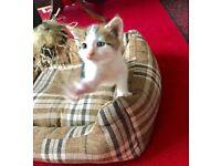 Kitten (Lovely and playful)