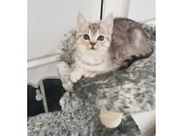 Ash Silver Mainecoon X Persian Kittens 1 Girl Left