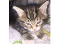 Kittens tabby £450 black and white £250