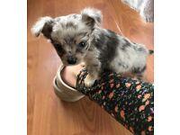 Blue Merle longcoat Chihuahua