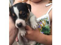 Puppy Jack Russell's