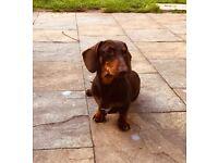 Gorgeous dachshund boy
