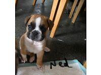 Bulldog mix puppies