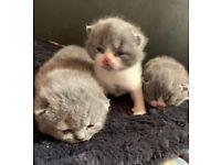 BSH blue kitten