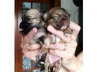 Beautiful Female Chihuahua pedigree puppies
