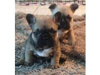 French bulldog puppies!! 3 Boys Left 1 gorgeous girl