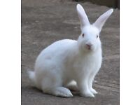 2 Female short haired white rabits for FREE
