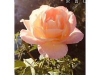 Peach rose plant