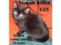 14 week old female kitten (Black)