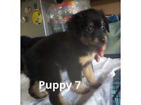 Patterdale cross puppies