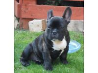 For sale KC reg French Bulldog Puppies