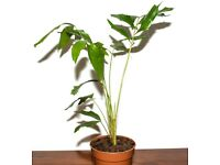 Caryota mitis Burmese fishtail palm. 80cm. Indoor plants