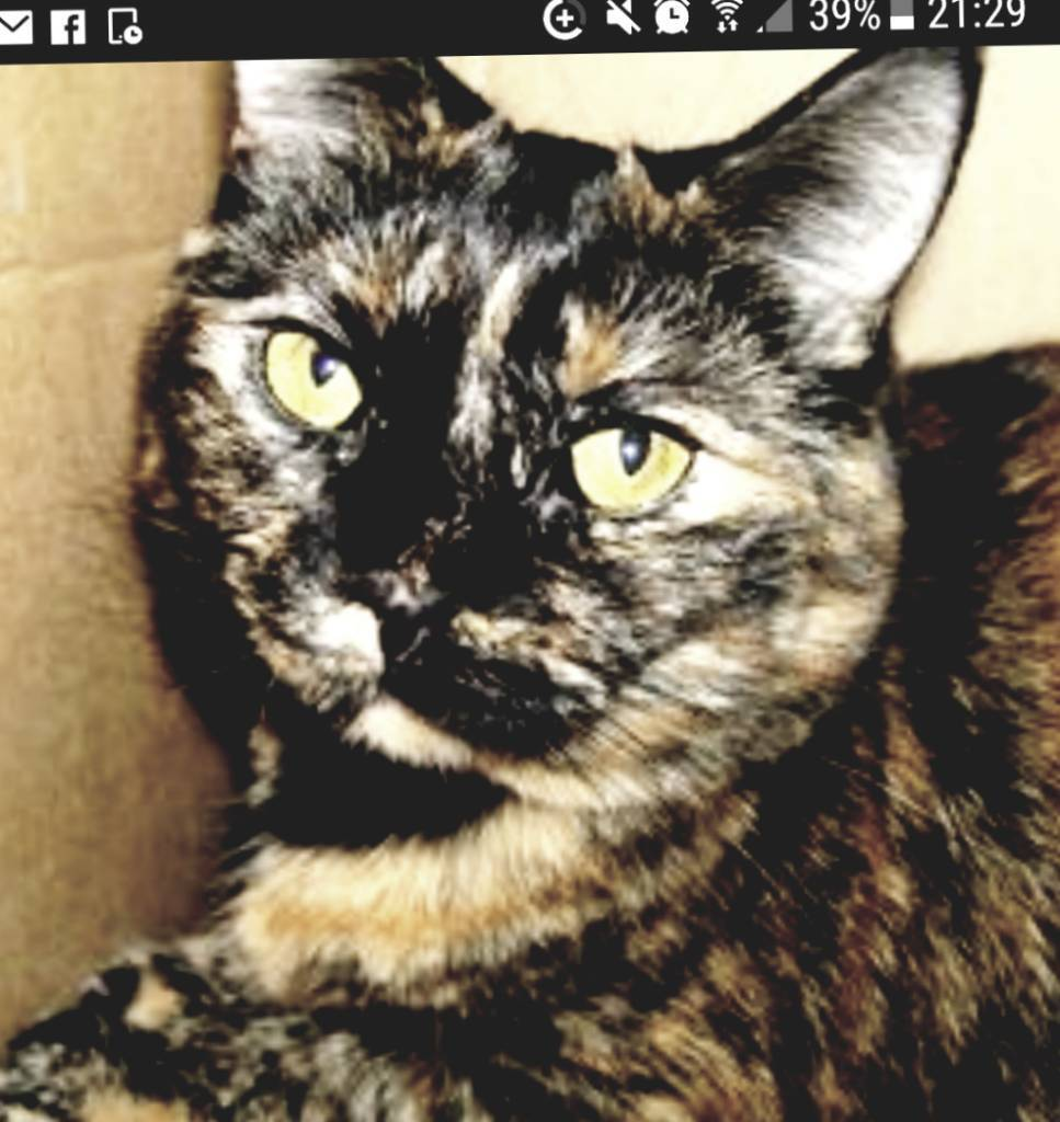 A female Tortoise cat (lolly)rehome asap