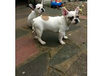 White pied and black brindle french bulldog
