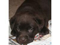 Gorgeous Chocolate KC reg Labrador puppies