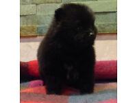 Sweet Pomerainan Puppies KC reg