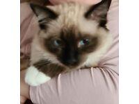 **Full Ragdoll Cat** £700