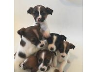 Miniature Jack Russell puppies