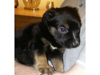 Gorgeous Rottweiler cross Puppies age 8 weeks