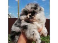 Rare Blue Merle Pomeranian