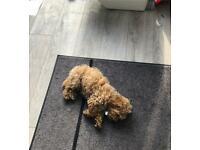 Toy Poochon puppy F1